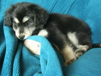 Side view - A fluffy black with tan and white Siberian Cocker puppy is laying on a bunched up bright blue blanket that is draped over a couch and it is looking forward.