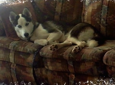 A black and white Siberian Husky is laying across a couch and it is looking forward.