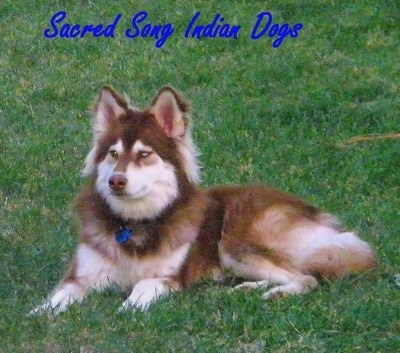 Side view - A long haired, brown with white Siberian Indian Dog that is laying in grass and it is looking to the left. The words - Sacred Song Indian Dogs - is overlayed in the top middle of the image. The dog has golden brown eyes.