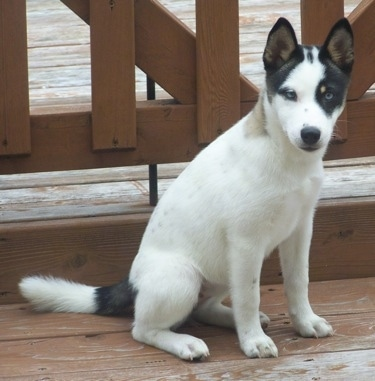 Front side view - A distinct colored white with black Siberian Shiba is sitting across a hardwood porch and it is looking forward. It has small perk ears and blue eyes.