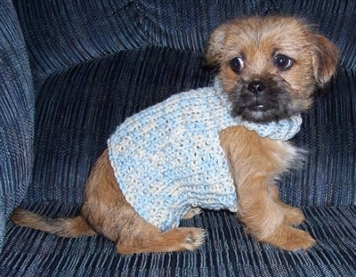 The right side of a wiry looking, tan with black Silkinese puppy that is wearing a light blue knit sweater. It is looking to the left.