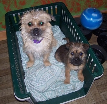 Two Silky Pug puppies are sitting in a green plastic basket bin with a light blue blanket under them and they are looking up. One dog is cream in color and the other is a darker brown and black.