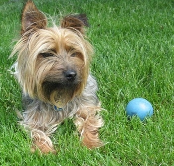 Close up front view - A black and tan Silky Terrier dog is laying on grass and to the right of it is a blue ball. The dog has perk ears and a long coat.