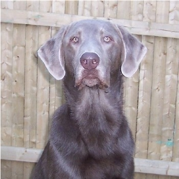Upper body shot - A silver Labrador Retriever that is sitting in front of a wooden fence