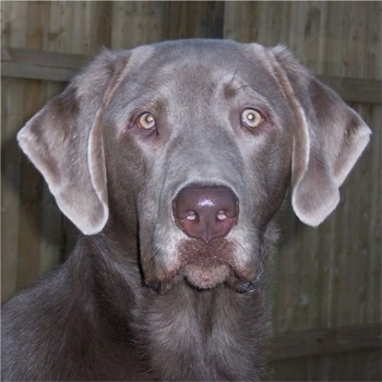 Close Up head shot - A silver Labrador Retriever is sitting in front of a wooden fence