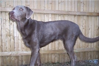 Left Profile - A silver Labrador Retriever is standing in front of a wooden fence