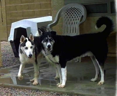 A Siberian Husky and an Alusky are both standing across a wet concrete porch and they are looking to the right.