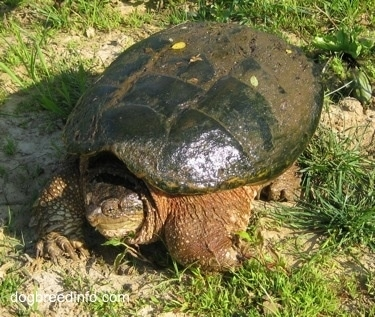 The front left side of a Snapping turtle that is walking across grass with its head in its shell half covered in mud