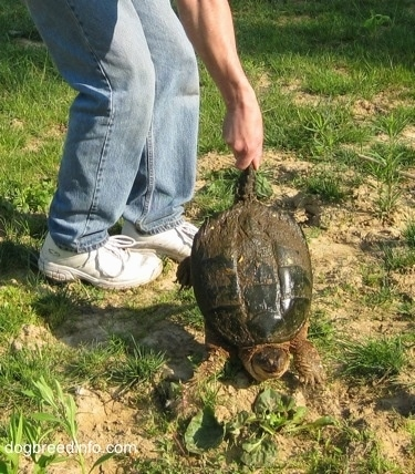 A Snapping turtle is having its tail grabbed by a person in mud