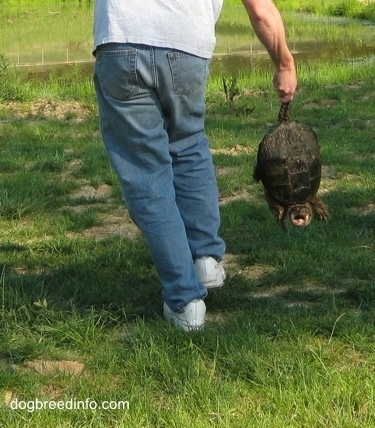 A Snapping Turle is being grabbe by its tail by a person walking across a grass surface.