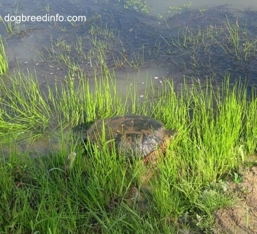 The back left side of a Snapping turtle beginning to get in a pond