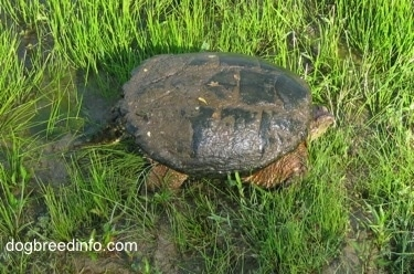 Close Up - Top down view of a Snapping turtle walking out of pond