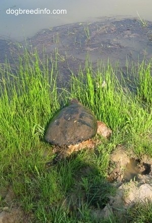 The back of a Snapping Turtle that is walking towards a pond