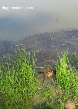 The back of a Snapping turtle that is submerging into a pond