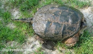 The right side of a Snapping turtle with its head in its shell and tail out waiting on a rock.