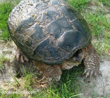 Close up - A Snapping turtle with its head in its shell waiting on a rock