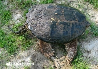 The left side of a Snapping turtle with its head in its shell and tail out waiting on a rock