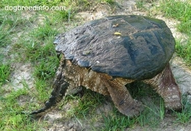 The back right side of a Snapping turtle with its tail out waiting on a rock