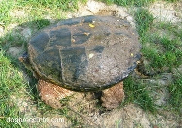 The left side of a Snapping turtle with its tail and its head in its shell waiting on a rock half covered in mud