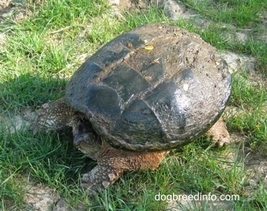 The front left side of a Snapping Turtle that is waiting on grass with its head in its shell