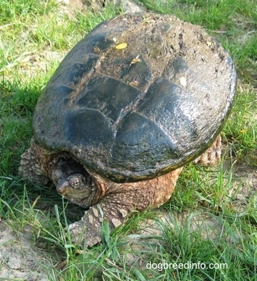 The front left side of a Snapping turtle that is walking across a grass surface with its head in its shell