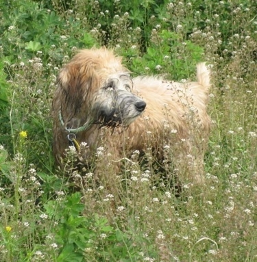 The left side of a tan Soft Coated Wheaten Terrier standing in tall weeds that have white flowers on them in a field and it is looking to the right.