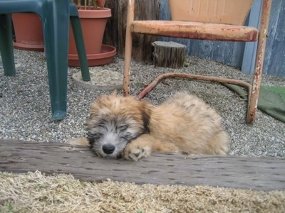 A tan Soft Coated Wheaten Terrier is laying down outside on a wooden pole with its eyes closed. There is a metal lawn chair behind it.