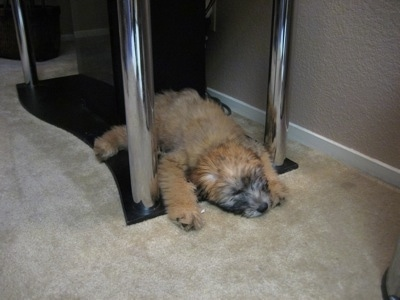 A tan Soft Coated Wheaten Terrier is sleeping under a table stand and it is facing the right.