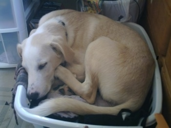 A tan shorthaired, Spanador dog is laying curled up in a ball in a basket that is filled with clothes.