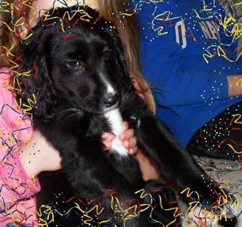 A black with white Spangold Retriever puppy is being lifted in the air by a persons hand, it is looking down and to the right. A Confetti border is overlayed on the image.