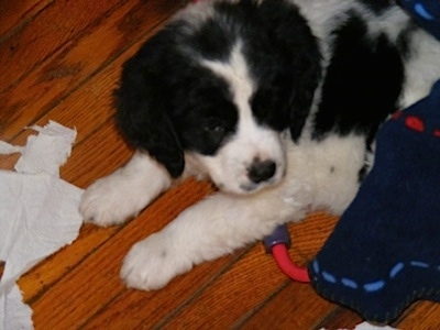 A black and white Spangold Retriever puppy is laying on a hardwood floor and it is looking to the right. There is ripped tissues in front of it and a dog toy next to it.