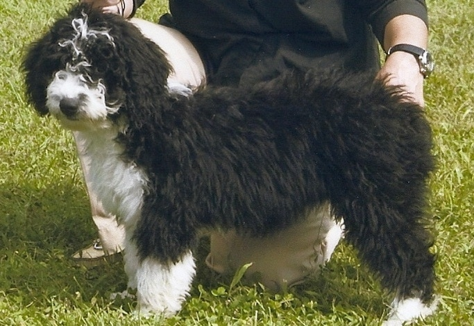 The left side of a thick coated, wavy, black and white Spanish Water Dog puppy standing in grass and it is looking forward. There is a person kneeling behind it and touching its backside.