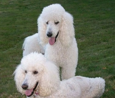 Two white Standard Poodles are in a field if green grass. One is standing and one is laying down. There mouths are open and tongues are sticking out. They have thick white, curly fur, black noses, black lips and black eyes.