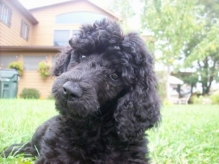 Close up front view head shot - A black Standard Poodle puppy laying in grass, its head is tilted to the right and it is looking forward. It has a thick wavy coat and long soft ears.