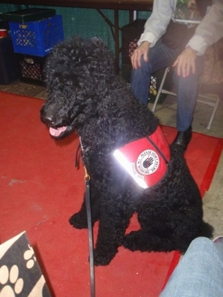 The left side of a thick, curly-coated, black Standard Poodle service dog that is sitting on a red rug. It is wearing a red vest looking to the left, its mouth is open and its tongue is sticking out.