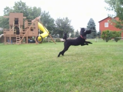 Action shot - The right side of a black Standard Poodle dog jumping across a grass yard with its ears flying up in the air. There is a wooden playground behind it.