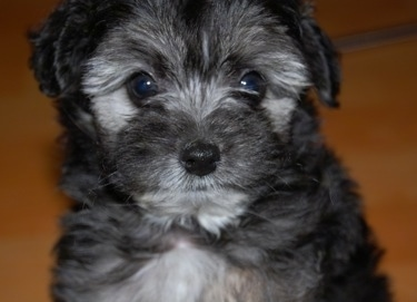 Close up head shot - A fluffy black with grey Schnoodle puppy sitting on a hardwood floor and it is looking forward. It has round black wide eyes.
