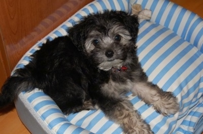 A small, fluffy, black with tan standard Schnoodle puppy laying on a blue striped dog bed and it is looking up. There is a rawhide bone on the bed behind the pup.