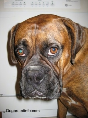 Close Up - A brown brindle Boxer is sitting in front of a dish washer.
