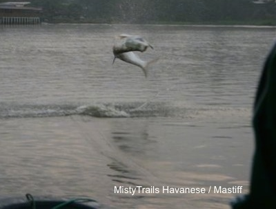 A tarpon fish is in mid-air jumping out of a body of water.