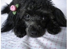 Penelope (Penny) the Teacup Poodle at 2 years old.