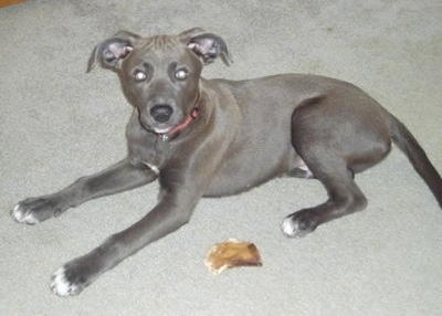 The left side of a Texas Blue Lacy puppy that is laying on carpet, next to a pig ear.
