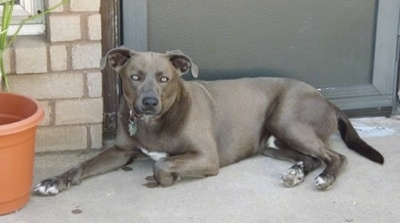 The left side of a Texas Blue Lacy that is laying across a front porch.