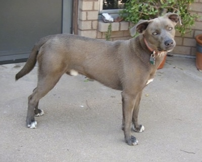 The front right side of a Texas Blue Lacy that is standing across a porch, it is looking forward and its head is tilted to the left.