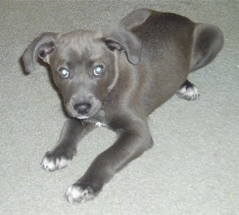 The front left side of a Texas Blue Lacy puppy that is laying on a carpet and it is looking up.