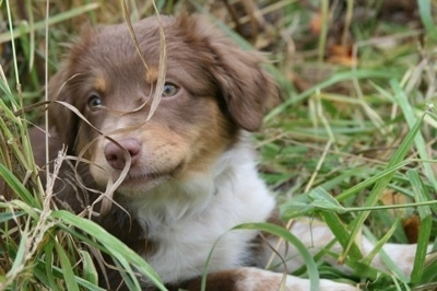 The front right side of a medium haired, chocolate with white and brown Texas Heeler puppy that is laying across tall grass. It is looking to the left, but its head is turned forward. The dog has a brown nose.