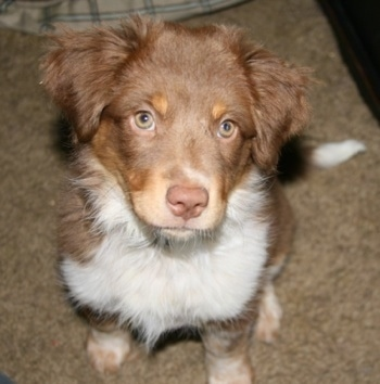 Ellie, the Australian Shepherd / Australian Heeler hybrid puppy at 3 months old (Texas Heeler).