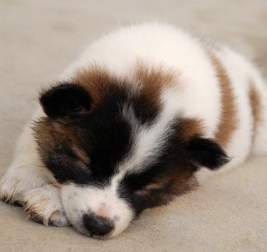 Close up - A small, fluffy, white with brown and black Thai BangKaew puppy is sleeping on a carpet. The dog has little perk ears.