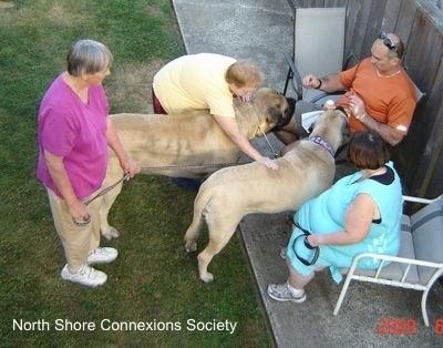 5 people with two Mastiffs - Two people are sitting in lawn chairs with Two Mastiffs in front of them. The other Mastiff is being pet by a lady standing in the grass who is reaching over the closer dog to pet it