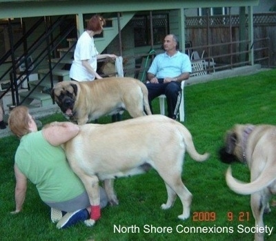 3 people and 3 Mastiff dogs, a Mastiff is standing in front of the man in a lawn chair. Another Mastiff is pushing over a lady